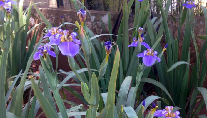 Falso Iris