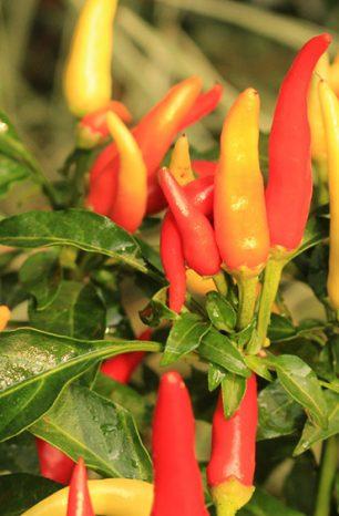 Como plantar pimentas em vasos