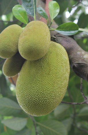 7 Frutíferas tropicais